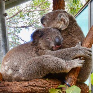 koala's knuffelen elkaar