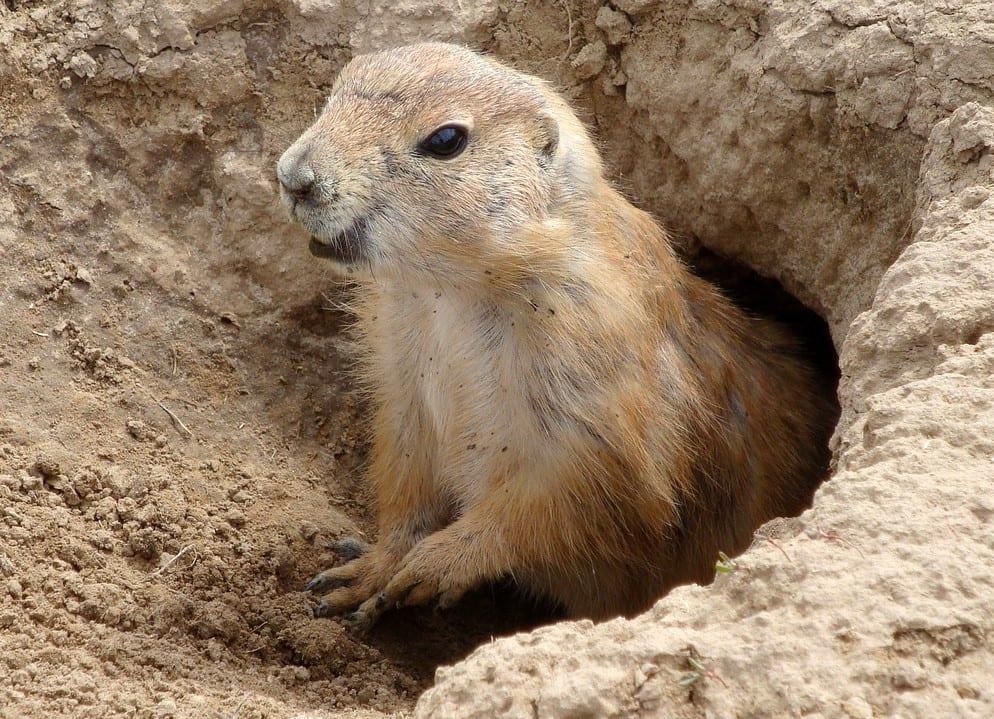 Het verhaal van de groundhog - in het Nederlands de bosmarmot - die zich na zijn winterslaap voor het eerst weer buiten zijn hol waagt. Gaat hij terug dan betekent het dat de winter nog even voortduurt, anders is de lente op komst